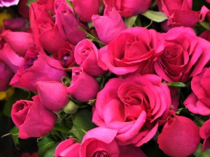 エレガントなピンクのバラです