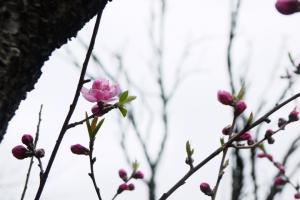 桃の花はほんのひとつふたつ咲いたばかり