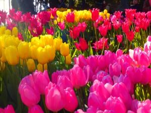 サムエルコッキング苑のチューリップが綺麗でした!